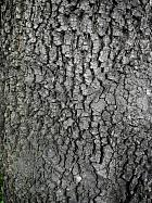 Evergreen oak, bark