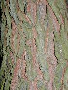 Kentucky Coffee Tree, bark