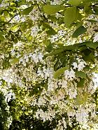 American Yellowwood, Virgilia, flower
