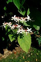 Clerodendron, flower
