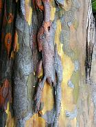 Chinese quince, bark