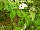 Pagoda dogwood, flower