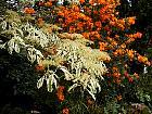 Pagoda dogwood variegated, flower