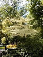 Pagoda dogwood variegated, outline