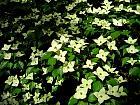 Flowering Dogwood, flower