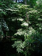 Flowering Dogwood, outline