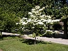 China Dogwood, outline