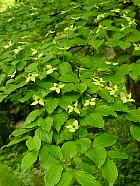 Kousa Dogwood, flower