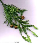 Japanese Cryptomeria, Japanese Cedar, scales