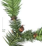 China Fir, pictures