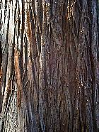 Bald Cypress, bark