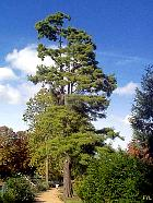 Bald Cypress, outline