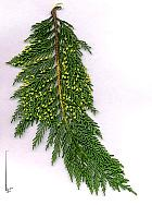 Leyland Cypress, scales
