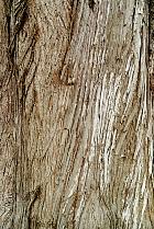 Monterey cypress, bark