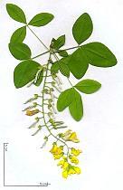 Laburnum, flower