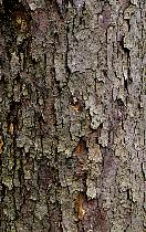 Dove tree, bark