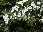 Deutzia, flower