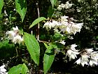 Deutzia, flower