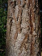 Douglas Fir, bark