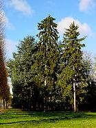 Norway Spruce, outline