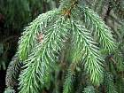 Norway Spruce, needles