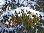 Norway Spruce, pictures