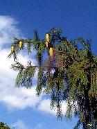 Morinda Spruce, pictures