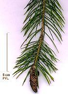 Morinda Spruce, flower