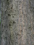 Cappadocian Maple, bark