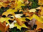 Cappadocian Maple, leaf