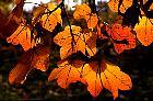 Italian Maple, leaf