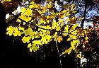 Norway Maple, leaf