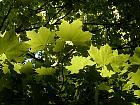 Norway Maple, leaf