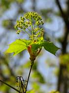 Norway Maple, flower