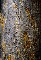 Sycomore, bark