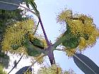 Bluegum Eucalyptus, flower