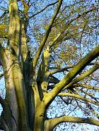 Beech golden Spath, trunk