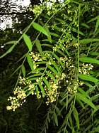 Peruvian Pepper Tree, flower
