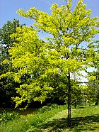 Golden Honey Locust, outline