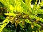 Golden Honey Locust, flower