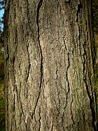 Honey Locust, bark