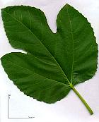 Fig tree, leaf