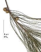 Australian Pine, needles