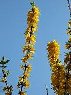 Border forsythia, flower