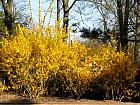Border forsythia, outline