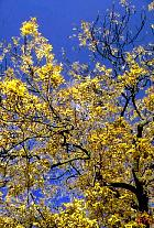 Golden Ash, pictures
