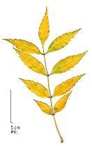 European Ash, leaf