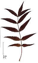 White Ash, leaf