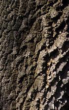 European Ash, bark