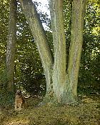 European Ash, trunk